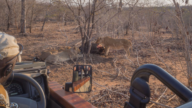 löwenkill | game drive | kapama private game reserve | südafrika