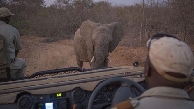 elefant | game drive | kapama private game reserve | südafrika