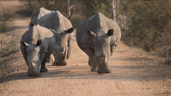 nashörner | game drive | kapama private game reserve | südafrika