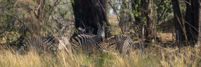 zebra | bush walk | chief`s island | okavango delta | botswana 2014