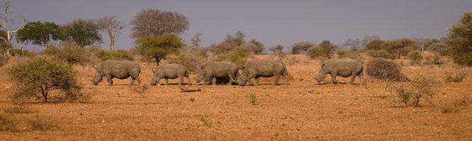 nashornparade | game drive | kapama private game reserve | südafrika