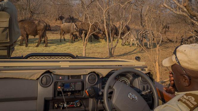 game drive | kapama private game reserve | südafrika