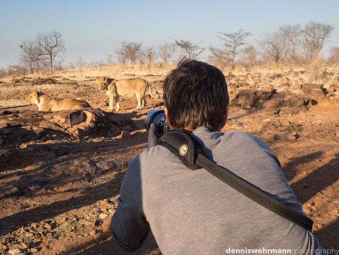 lion victoria falls zimbabwe