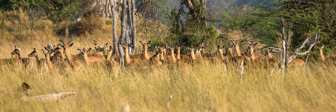 impala | bush walk | chief`s island | okavango delta | botswana 2014