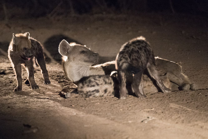 hyiänen | game drive | kapama private game reserve | südafrika