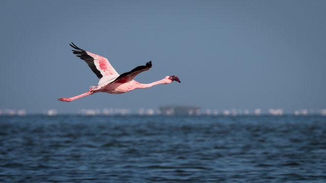 Flamingos in unmittelbarer Nähe der Straße in der Lagune südlich von Walvis Bay.