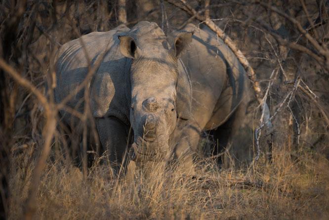 nashorn | game drive | karongwe private game reserve | südafrika