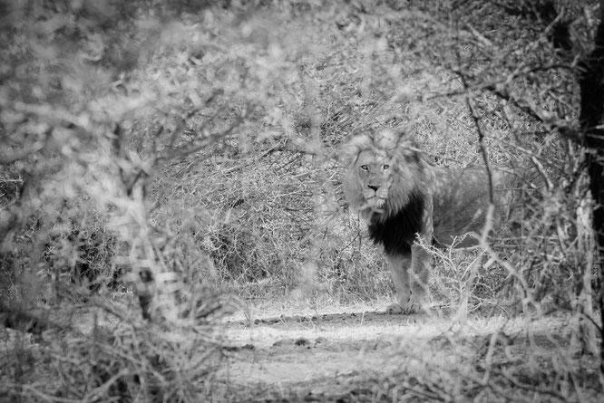 löwe | game drive | kapama private game reserve | südafrika