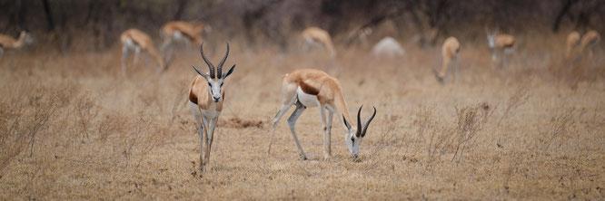 springbok  - nxai pan national park botswana