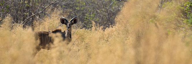 kudu | bush walk | chief`s island | okavango delta | botswana 2014