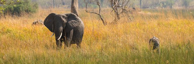 elephant | bush walk | chief`s island | okavango delta | botswana 2014