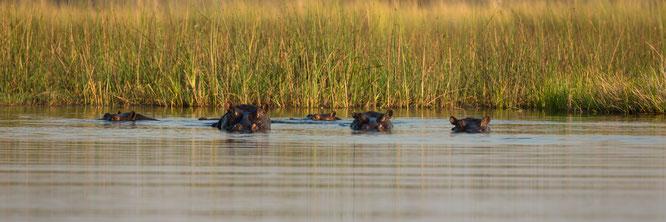 hippo |bush walk | chief`s island | okavango delta | botswana 2014