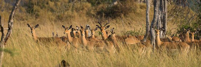 bush walk | chief`s island | okavango delta | botswana 2014