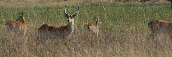 lechwe | bush walk | chief`s island | okavango delta | botswana 2014