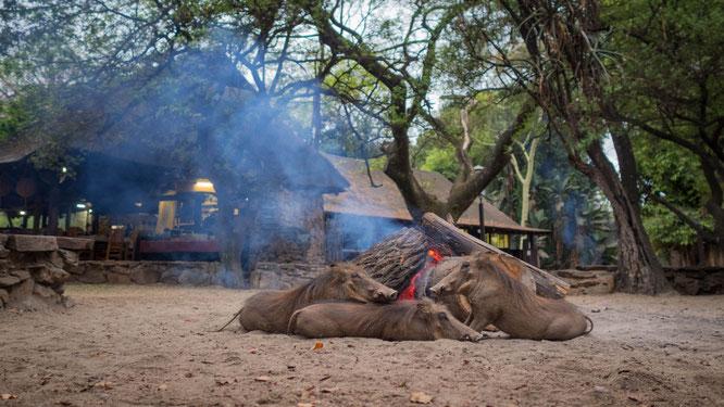 warzenschweine wärmen sich am feuer | miliwane wildlife sanctuary | swaziland