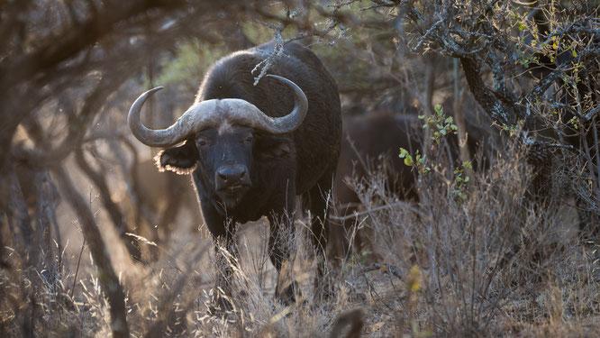 büffel | game drive | zebra country lodge | südafrika