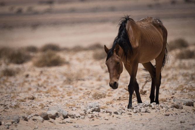 namib horse in garub namibia