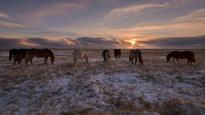 Islandponies beim Grasen im Schnee. Diese Tiere sind so widerstandsfähig und gutmütig, einfach beeindruckend | Iceland 2016