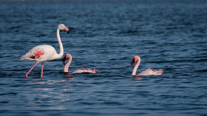 Flamingos in unmittelbarer Nähe der Straße in der Lagune südlich von Walvis Bay