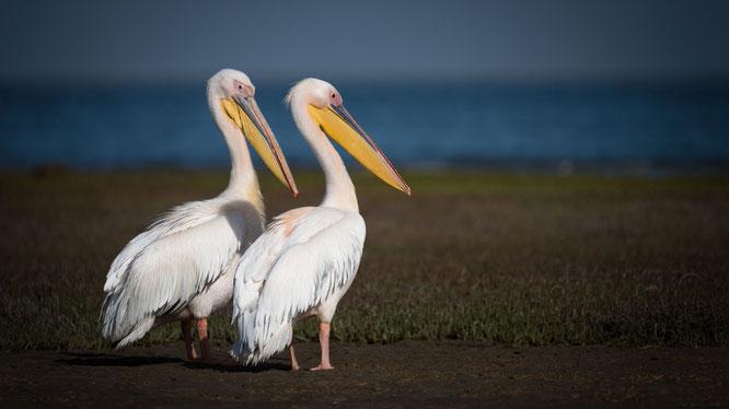 Pelikane (und was für welche) in unmittelbarer Nähe der Straße in der Lagune südlich von Walvis Bay.