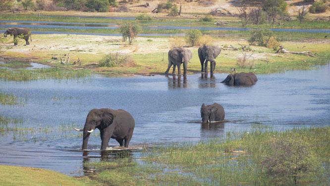 elefanten im boteti fluß - makgadikgadi national park botswana
