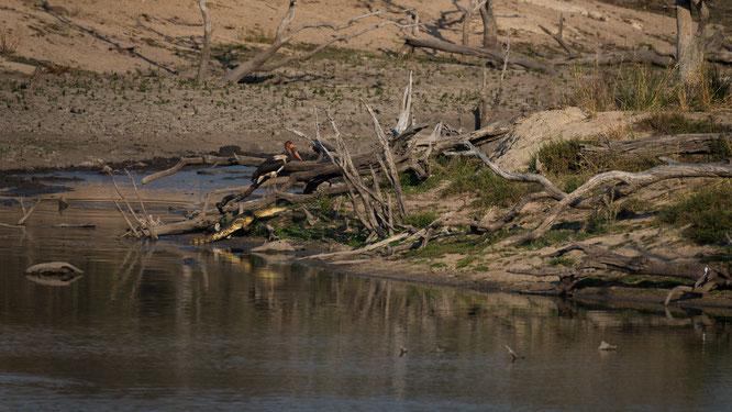 storch mit krokodil | game drive | kapama private game reserve | südafrika