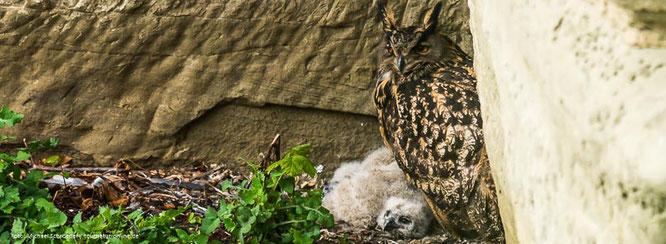 Uhu am Nest mit Jungen am Bodensee