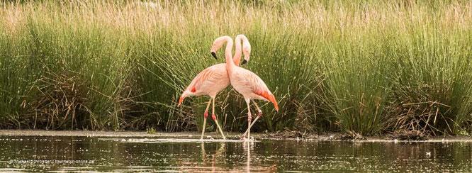 Flamingo im Zwillbrocker Venn / Deutschland