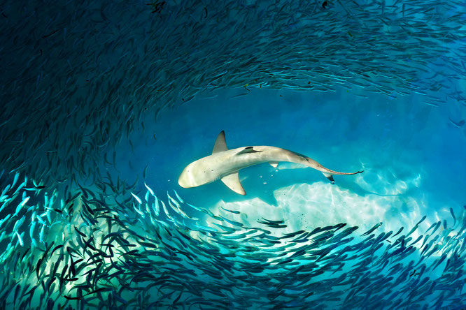 great white shark, school of fish