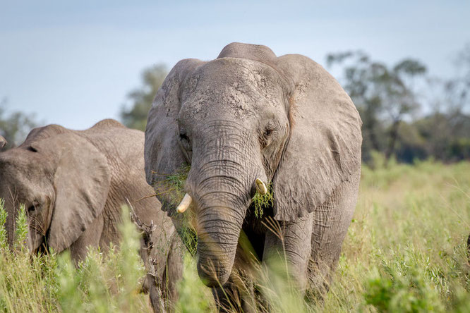 what do elephants eat, elephant eating grass, food, facts