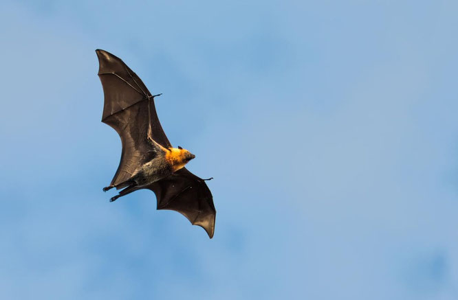 flying fox bat, bats, creatures of the night