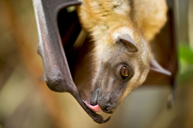flying fox bat, bats, animals, bat video