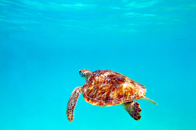 Sea Turtle, Sea Turtles swimming in ocean