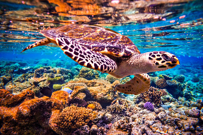 sea turtle, sea turtles in ocean