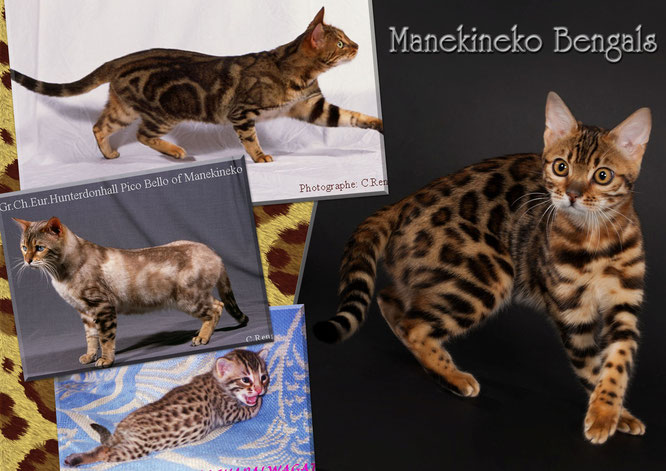 Manekineko bengals of 1998 in today