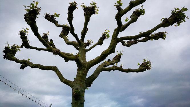 (с) Дамир Байманов. Деревья стригут таким образом, чтобы было ощущение, что они растут корнями вверх.
