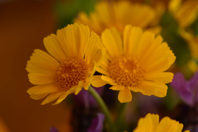 small sunny garden, desert garden, monday vase, in a vase on monday, iavom, photography, amy myers, tetraneuris, angelita daisy