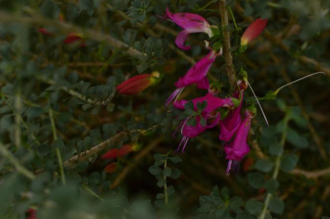 eremophila maculata valentine