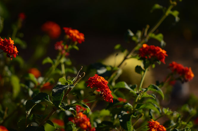 small sunny garden, desert garden, amy myers, garden bloggers bloom day, gbbd, november, photography, lantana, denver red