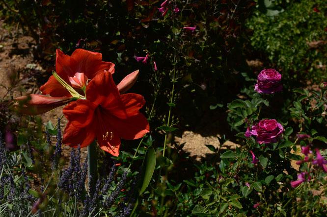 small sunny garden, desert garden, amy myers, photography, garden photography, sonoran desert, tuesday view, hippeastrum, amaryllis, naranja
