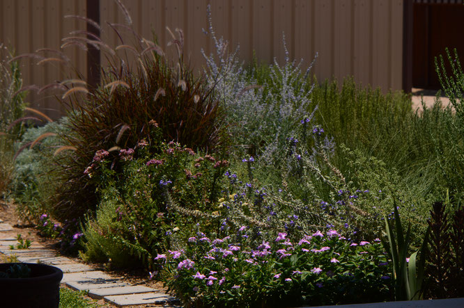 small sunny garden, desert garden, amy myers, photography, garden photography, tuesday view, eremophila hygorphana