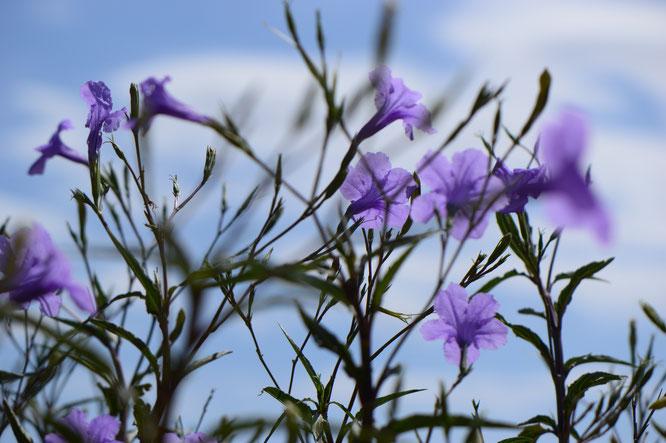 small sunny garden, ruellia brittoniana