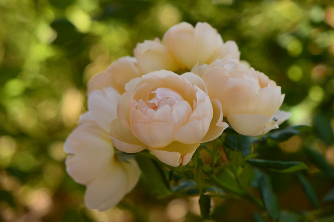 small sunny garden, desert garden, amy myers, photography, garden photography, rose, david austin, wollerton old hall