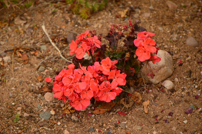 small sunny garden, desert garden, amy myers, photography, garden bloggers bloom day, gbbd, december, winter flowers, pelargonium, geranium