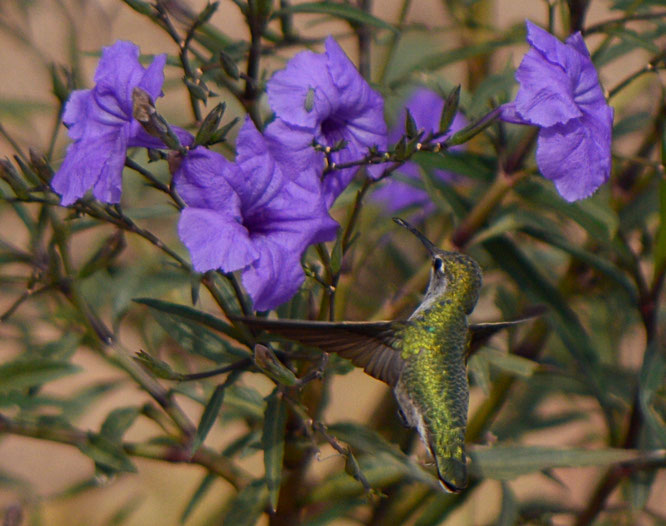 Annas hummingbird, desert garden, small sunny garden, amy myers, desert garden, garden bloggers bloom day
