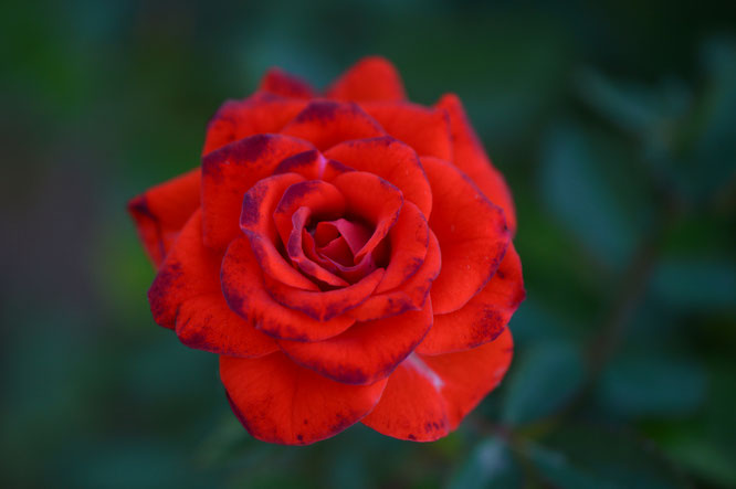 small sunny garden, desert garden, amy myers, garden bloggers bloom day, gbbd, november, photography, miniature rose
