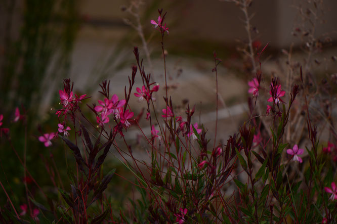 small sunny garden, desert garden, amy myers, photography, garden bloggers bloom day, gbbd, december, winter flowers, gaura, oenothera, lindheimeri