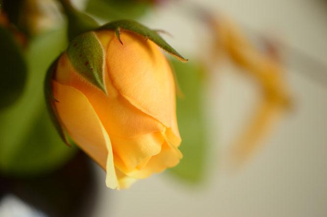 in a vase on monday, monday vase, desert garden, small sunny garden, amy myers, photographer, photography, rose, graham thomas