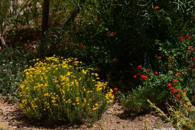 Chrysactinia mexicana and Lantana in the East Border