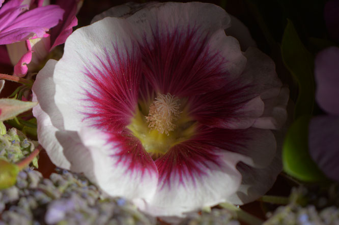 "the hollyhock bloom ""Creme de Cassis"""